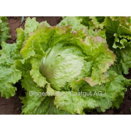 """Bingenheimer biodinaminių gūžinių sėjamųjų salotų sėklos """" Laibacher Eis"""""""